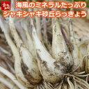 鳥取県産 砂丘らっきょう 3kg 生らっきょう 土 根 茎 付き 数量限定 大きさ不揃い ア