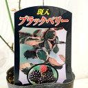 ブラックベリー 苗木 斑入りブラックベリー 9cmポット苗 2年生苗 ブラックベリー 苗 gv