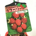 ラズベリー 苗木 グレンアンプル (とげなし) (赤実) 12cmポット苗 ラズベリー 苗