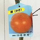 甘柿 苗木 花御所 12cmロングポット苗 はなごしょ カキ 苗 かき gv