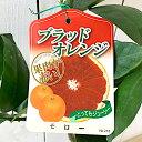 ブラッドオレンジ 苗木 モロー 13.5cmポット苗 オレンジ 苗 gv