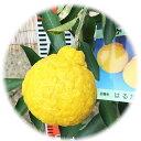 みかん 苗木 はるか 13.5cmポット苗 ミカン 苗 蜜柑 gv