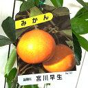 みかん 苗木 宮川早生 13.5cmポット苗 みやがわわせ ミカン 苗 蜜柑 gv