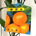 みかん 苗木 南津海 13.5cmポット苗 なつみ ミカン 苗 蜜柑 gv