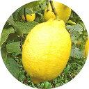 レモン 苗木 リスボンレモン 13.5cmポット苗 れもん 苗 檸檬 gv