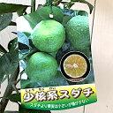 香酸柑橘 苗木 小核系スダチ 15cmポット苗 香酸柑橘 苗 gv