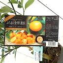 キンカン 苗木 選抜ぷちまる (PVP) 15cmポット苗 きんかん 苗 金柑 gv
