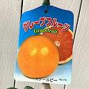 グレープフルーツ 苗木 スタールビー 15cmポット苗 グレープフルーツ苗 gv