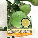 香酸柑橘 苗木 種なしカボス 15cmポット苗 祖母の香 無核カボス 香酸柑橘 苗 gv