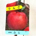 リンゴ 苗木 富士 12cmポット苗 ふじリンゴ りんご 苗 林檎 gv