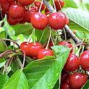 サクランボ 苗木 紅さやか 13.5cmポット苗 さくらんぼ 苗 gv
