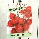 サクランボ 苗木 暖地桜桃 12cmポット苗 だんちおうとう さくらんぼ 苗 gv