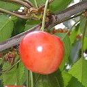 サクランボ 苗木 さおり 13.5cmポット苗 さくらんぼ 苗 gv