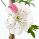 花桃 苗木 源平枝垂 (咲き分け) 12cmポット苗 げんぺいしだれ はなもも 苗 ハナモモ gv