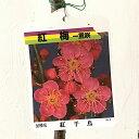 花梅 苗木 紅千鳥 (赤) 12cmポット苗 べにちどり はなうめ 苗 ハナウメ gv