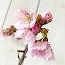 桜 苗木 大寒桜 12cmポット苗 おおかんざくら さくら 苗 サクラ gv