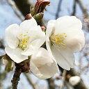 桜 苗木 山桜 12cmロングポット苗 さくら 苗 サクラ gv