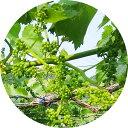 ぶどう 苗木 安芸クイーン 12cmポット苗 あきクイーン ブドウ 苗 葡萄 gv