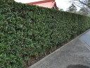 【1年間枯れ保証】【生垣樹木】イヌマキ 0.5m9.0cmポット 【あす楽対応】