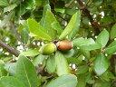 【1年間枯れ保証】【生垣樹木】ウバメガシ 0.8m15cmポット 【あす楽対応】