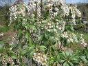 【1年間枯れ保証】【春に花が咲く木】アセビ 0.2m 【あす楽対応】