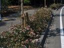 【1年間枯れ保証】【生垣樹木】アベリア 1.0m15cmポット 8本セット 送料無料 【あす楽対応】