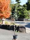 オリーブ 0.3m10.5cmポット 1本【1年間枯れ保証】【葉や形を楽しむ木】