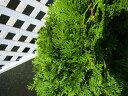【1年間枯れ保証】【コニファー】エメラルドグリーン 0.2m10.5cmポット 【あす楽対応】