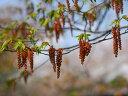 【1年間枯れ保証】【シンボルツリー落葉】アカシデ単木 1.2m露地 【あす楽対応】