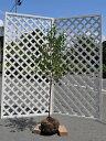 【1年間枯れ保証】【シンボルツリー落葉】エゴノキ単木 1.5...