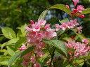 【1年間枯れ保証】【春に花が咲く木】タニウツギ 0.3m 【あす楽対応】