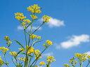 【1年間枯れ保証】【山野草】オミナエシ 10.5cmポット 【あす楽対応】