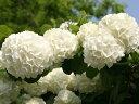 【1年間枯れ保証】【春に花が咲く木】オオデマリ 0.3m10.5cmポット 【あす楽対応】