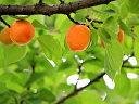 【1年間枯れ保証】【春・夏に収穫する果樹】アンズ/ニコニコット 15cmポット  【あす楽対応】