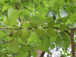 【1年間枯れ保証】【春・夏に収穫する果樹】ウメ/豊後 1.5m露地 【あす楽対応】