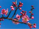 【1年間枯れ保証】【春・夏に収穫する果樹】ウメ/紅梅(花梅) 15cmポット  【あす楽対応】