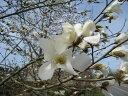 【1年間枯れ保証】【春に花が咲く木】コブシ 0.8m10.5cmポット 【あす楽対応】
