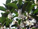 【1年間枯れ保証】【秋冬に花が咲く木】四季咲きモクセイ 0.2m10.5cmポット 【あす楽対応】