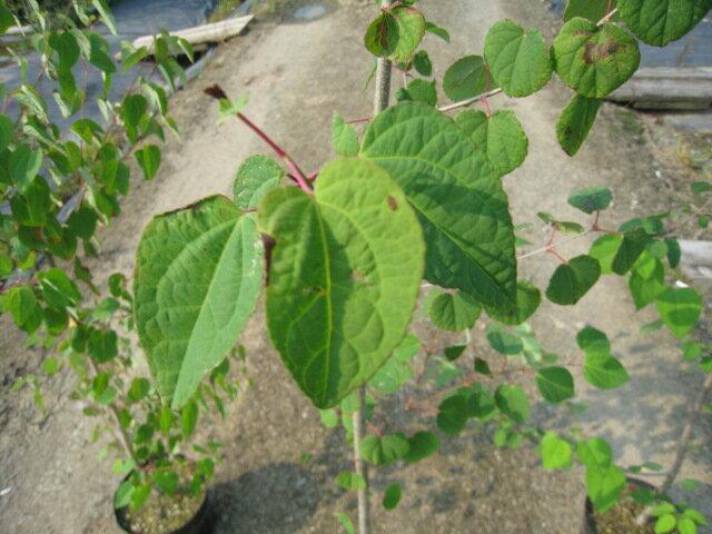【1年間枯れ保証】【葉や形を楽しむ木】カツラ単...の紹介画像3