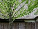 【1年間枯れ保証】【シンボルツリー落葉】カツラ株立ち 1.7m露地 【あす楽対応】