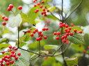 【1年間枯れ保証】【葉や形を楽しむ木】ガマズミ 0.3m 【あす楽対応】