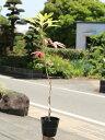 カクレミノ 0.8m15cmポット 1本【1年間枯れ保証】【陰樹】