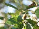 【1年間枯れ保証】【山林苗木】コナラ 1.0m10.5cmポット 【あす楽対応】