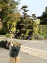 【1年間枯れ保証】【低木】ヒメクチナシ 0.2m 【あす楽対応】