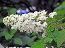 【1年間枯れ保証】【春に花が咲く木】カシワバアジサイ 0.2m 15本セット 送料無料 【あす楽対応】