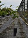 カキ/貴秋 15cmポット  3本セット 送料無料【1年間枯れ保証】【秋に収穫する果樹】