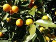 【1年間枯れ保証】【冬に収穫する果樹】キンカン/長葉 15cmポット  5本セット 送料無料 【あす楽対応】