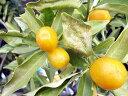 【1年間枯れ保証】【冬に収穫する果樹】キンカン/長実 15cmポット  3本セット 送料無料 【あす楽対応】