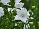 【1年間枯れ保証】【下草】キキョウ/白花 9.0cmポット 【あす楽対応】