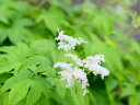【1年間枯れ保証】【山野草】キョウカノコ白花 9.0cmポット 【あす楽対応】